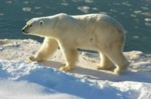 Oso polar de Canadá